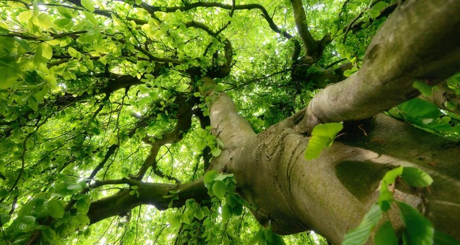 Worms eye view of a beautiful tree trunk and canopy with fresh green spring foliage, soft light