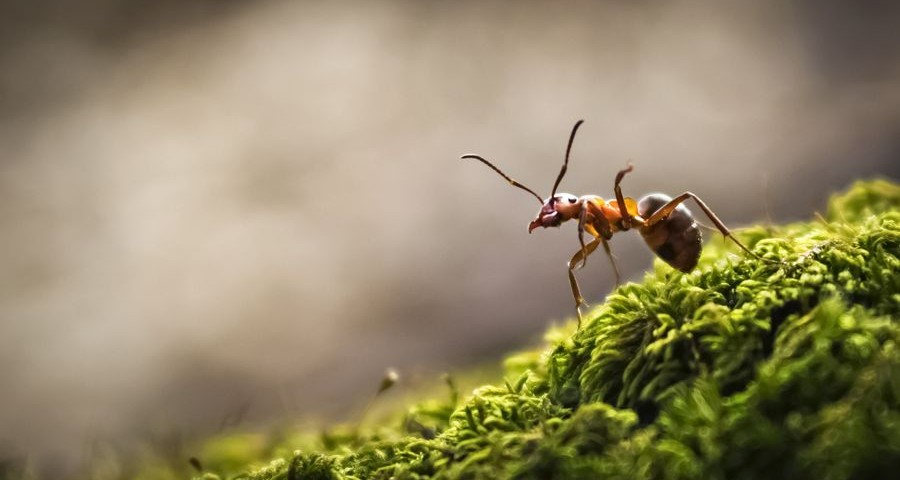 The forest ant runs along the green moss
